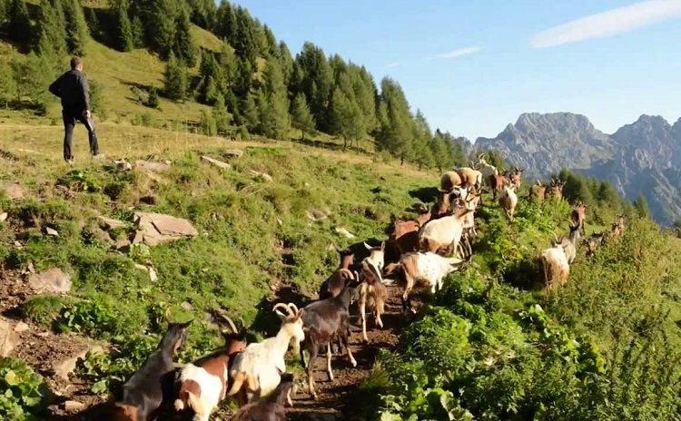 shepherd festival