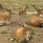 Molise - Deers