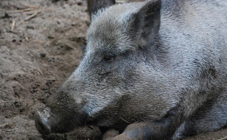 Wild Boar Festival - Maciano di Pennabilli Italy