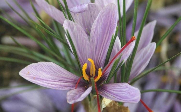 Saffron Market Fair Italy