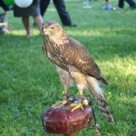 Falconry Festival in Melfi