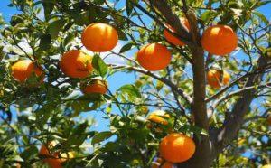 oranges sicily
