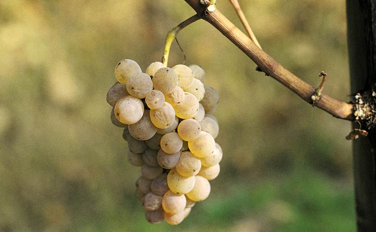 Friuli Venezia Giulia - Ramandolo grape - Italy